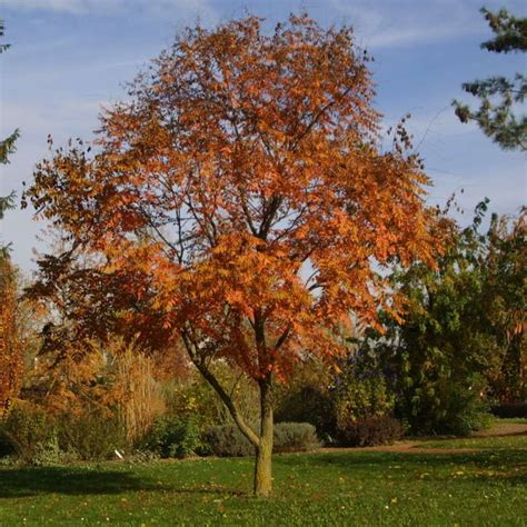 blasenbaum koelreuteria paniculata gelb
