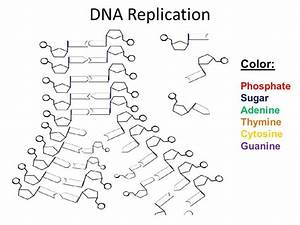 Dna Structure And Replication Review Worksheet