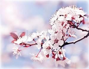 Rosa Blühender Baum Im Frühling : bl hender baum im fr hjahr frische rosa blumen auf dem ~ Lizthompson.info Haus und Dekorationen