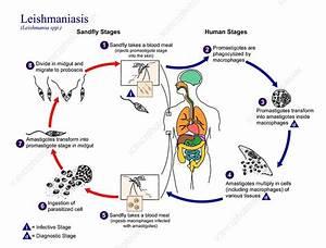 Leishmaniasis Protozoan Life-cycle  9300