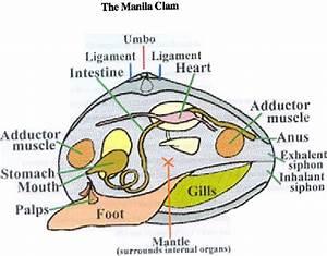 Clam Diagram