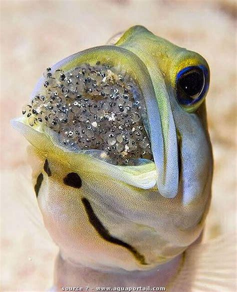 a propos d opistognathus aurifrons forum poissons r 233 cifaux