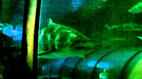 Big Shark Seaworld San Diego Youtube