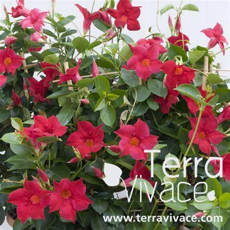 le diplad 233 nia est une plante grimpante au feuillage persistant et 224 la floraison abondante en