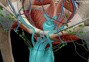 Anatomy And Physiology  Internal Male Reproductive Anatomy