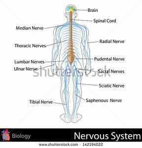 nervous system diagram unlabeled - 28 images - unlabeled ...