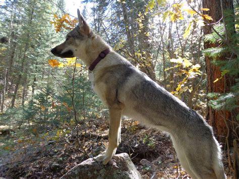 czechoslovakian vlcak dog breed information american