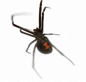 Black Widow Spider (Latrodectus Mactans) Antivenin ...