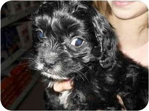 Connor | Adopted Puppy | Lonedell, MO | Yorkie, Yorkshire ...