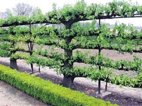 espalier how to how to espalier ornamental and fruit trees texture group