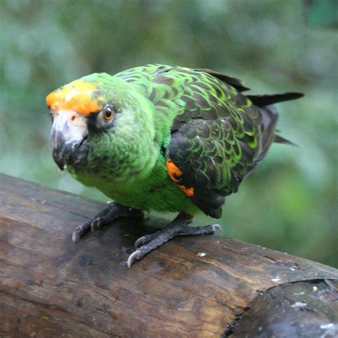 african green red fronted parrot wikipedia