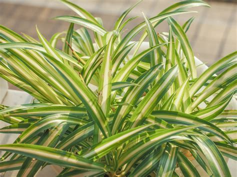 How To Divide A Spider Plant