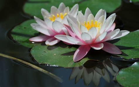 gambar bunga teratai cantik wallpaper gambar