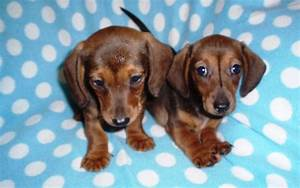 Miniature Smooth Haired Dachshund Puppy | Stoke On Trent ...