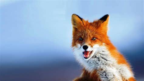 fox animal HD Desktop Wallpapers 4k HD