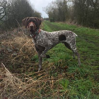 Gsp Male Langport Shorthaired German Pointer Dogs