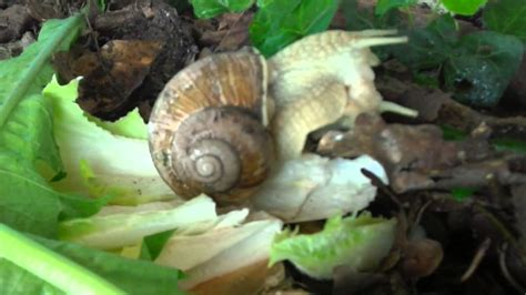 How Do Snails Mate Snail Sex Accelerated Recording Youtube