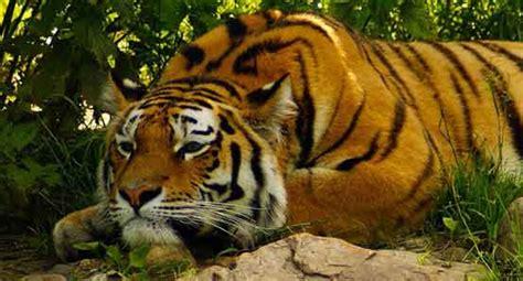 royal bengal tiger  chitwan national park