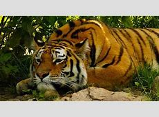 Royal Bengal Tiger in Chitwan National Park
