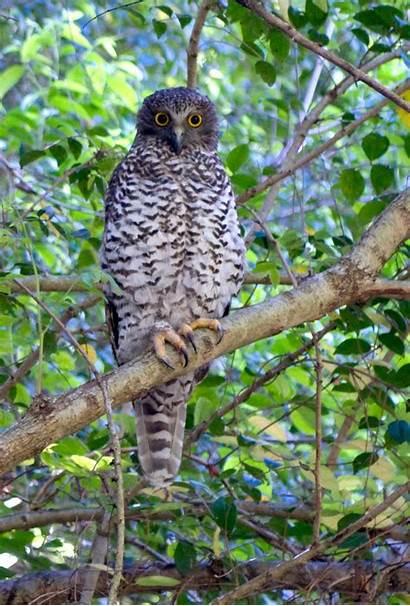 Owl Powerful Owls Australia Habitat Birds Sydney