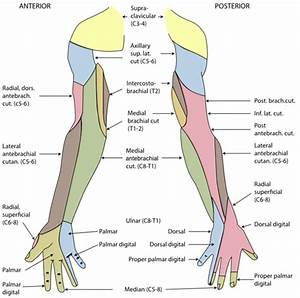 Dermatomes of the right shoulder, arm and hand. | zenuwen ...