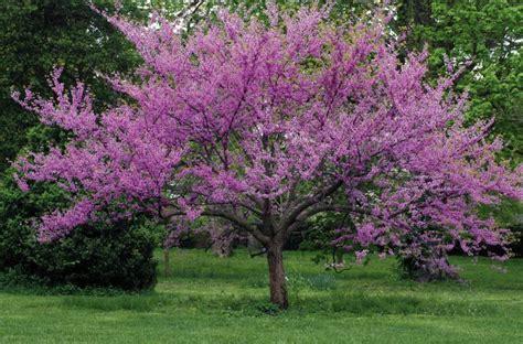 eastern rosebud tree eastern redbud tree kate erick s yard ideas pinterest