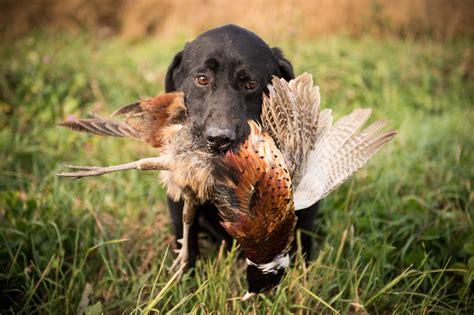 life afield sporting dog photography field dog