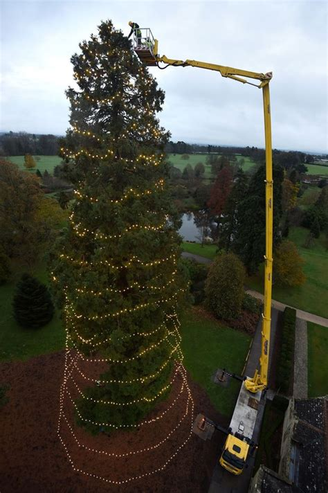 britain s tallest christmas tree being used for a very