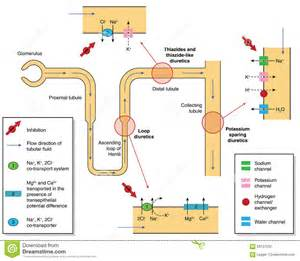 Site and mode of action of diuretic drugs, showing ion transport in ...  Stroke Diuretics