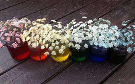 queen annes lace food coloring kids nature
