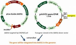 Aavs1 Locus  A Safe Harbor For Transgene Insertion