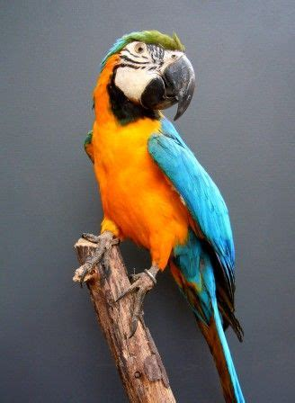 blue  yellow macaw parrot curio parlour taxidermy
