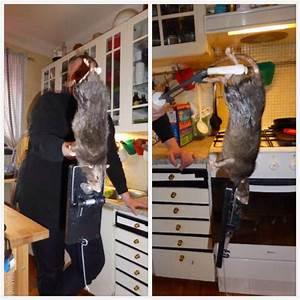 Piege à Rat Efficace : rat enorme capture suede tuxboard ~ Dailycaller-alerts.com Idées de Décoration