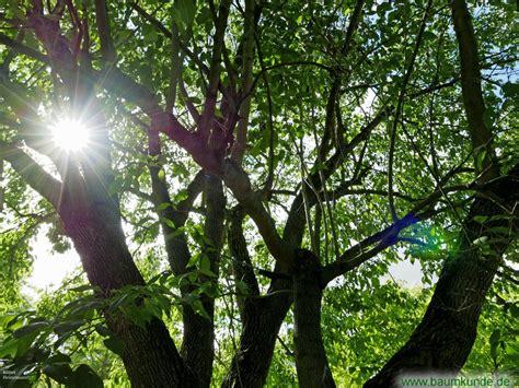 Guttaperchabaum Im Bot Garten Jena