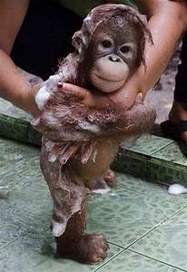 Baby Orangutans Enjoy the Early Years with Mom   Baby ...