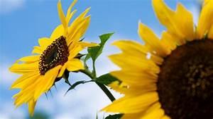 Sonnenblume Im Topf : so gedeihen sonnenblumen auch bei ihnen im garten ~ Orissabook.com Haus und Dekorationen