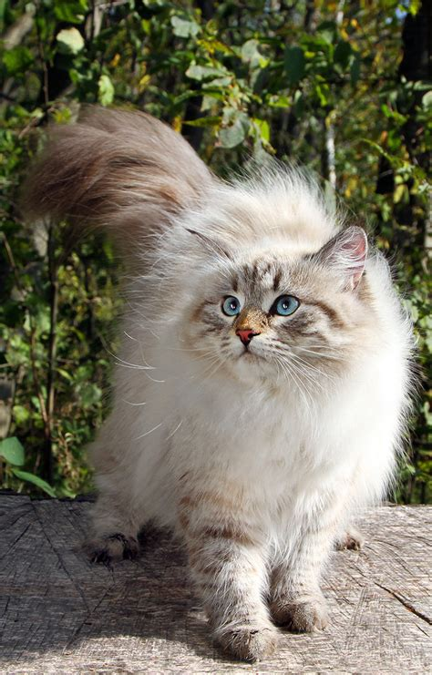 The Siberian Cat  A Complete Guide  The Happy Cat Site