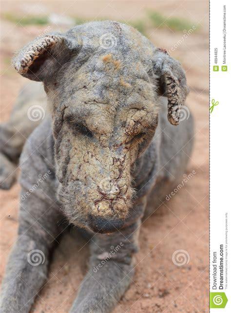 lepra de la piel del perro foto de archivo imagen