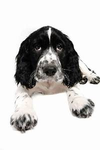 75 best images about Springer Spaniels & Friends on ...