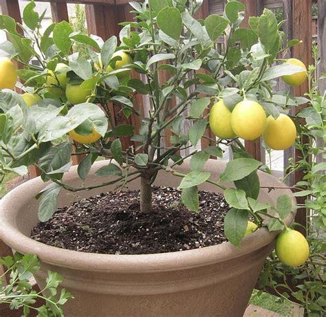 semi meyer lemon tree garden citrus