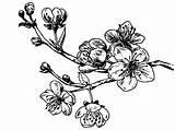 Cherry Tree Coloring Branch Sakura Cerisier Fleurs Flower Simple Google Dessin Blossom Fleur Drawing Tatouage Tattoo Flowers Pages Colorear Cerezo sketch template