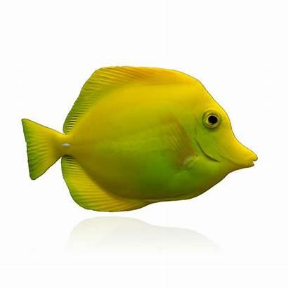 Yellow Tang Fish Captive Bred Tangs Biota