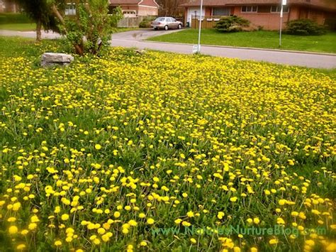 Image result for pictures of a yard of a yellow weed that grows only in the spring