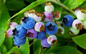 For a true blue taste, pick your own wild blueberries and ...