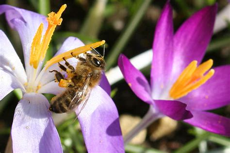 bienen brauchen fruehblueher nabu mecklenburg vorpommern