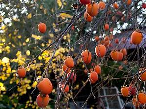 Persimmon Tree Growing Conditions – Where Does Persimmon Grow