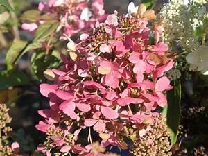 Hydrangea Paniculata Schneiden : rispenhortensie 39 mega mindy 39 39 ilvomindy 39 hydrangea ~ Lizthompson.info Haus und Dekorationen