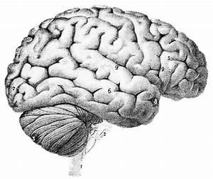 Cerveau : définition de CERVEAU, subst. masc. | La langue ...