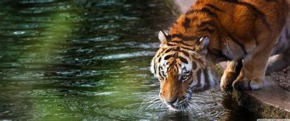 3440 1440 Ultra Wide Ultrawide Tiger Desktop