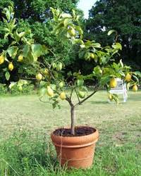 Planter Un Citronnier : planter les agrumes orangers citronniers gamm vert ~ Melissatoandfro.com Idées de Décoration